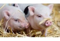 育肥猪饲养技术,育肥猪快速增肥的办法
