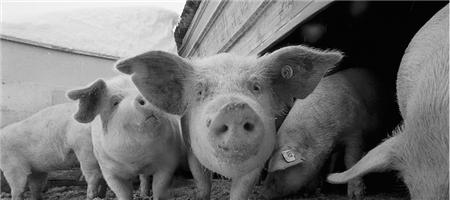 春季的猪病可不止是腹泻,留神这些病趁虚而入(图1)